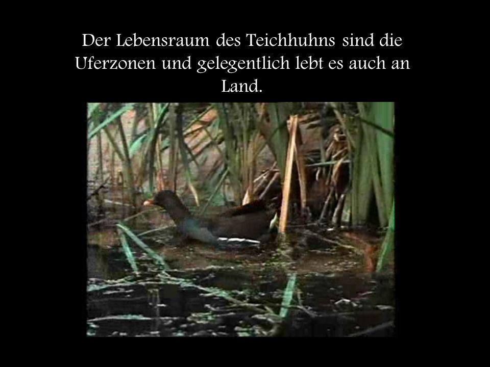 Der Lebensraum des Teichhuhns sind die Uferzonen und gelegentlich lebt es auch an Land.