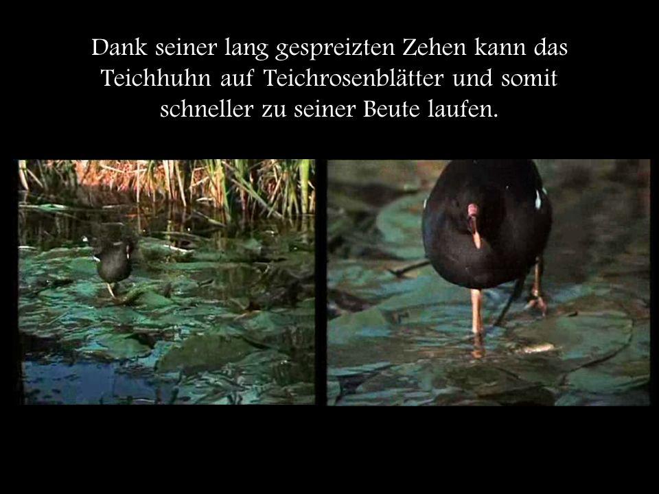 Es frisst sowohl tierische als auch pflanzliche Organismen.