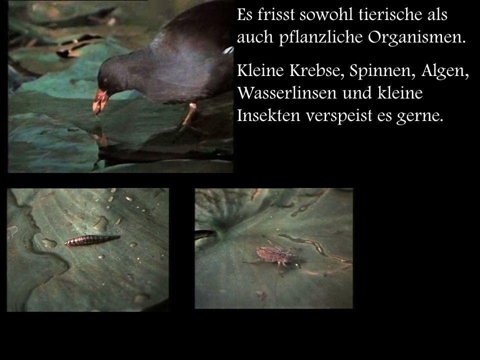 Durch kurzes Stoßtauchen kann das Teichhuhn 30 cm tief tauchen, um so nach Beutetieren unter Wasser zu jagen.