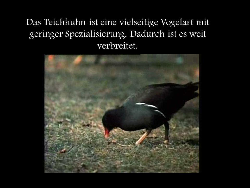 Das Teichhuhn ist eine vielseitige Vogelart mit geringer Spezialisierung.
