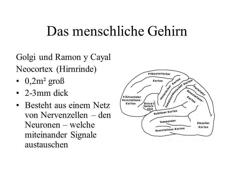 Das menschliche Gehirn Golgi und Ramon y Cayal Neocortex (Hirnrinde) 0,2m² groß 2-3mm dick Besteht aus einem Netz von Nervenzellen – den Neuronen – we