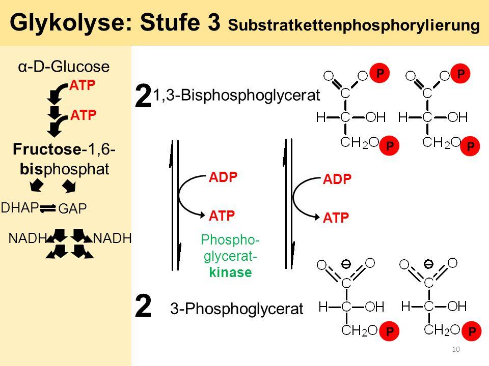 2 1,3-Bisphosphoglycerat 2 Phospho- glycerat- kinase 3-Phosphoglycerat Glykolyse: Stufe 3 Substratkettenphosphorylierung ADP ATP α-D-Glucose ATP Fruct