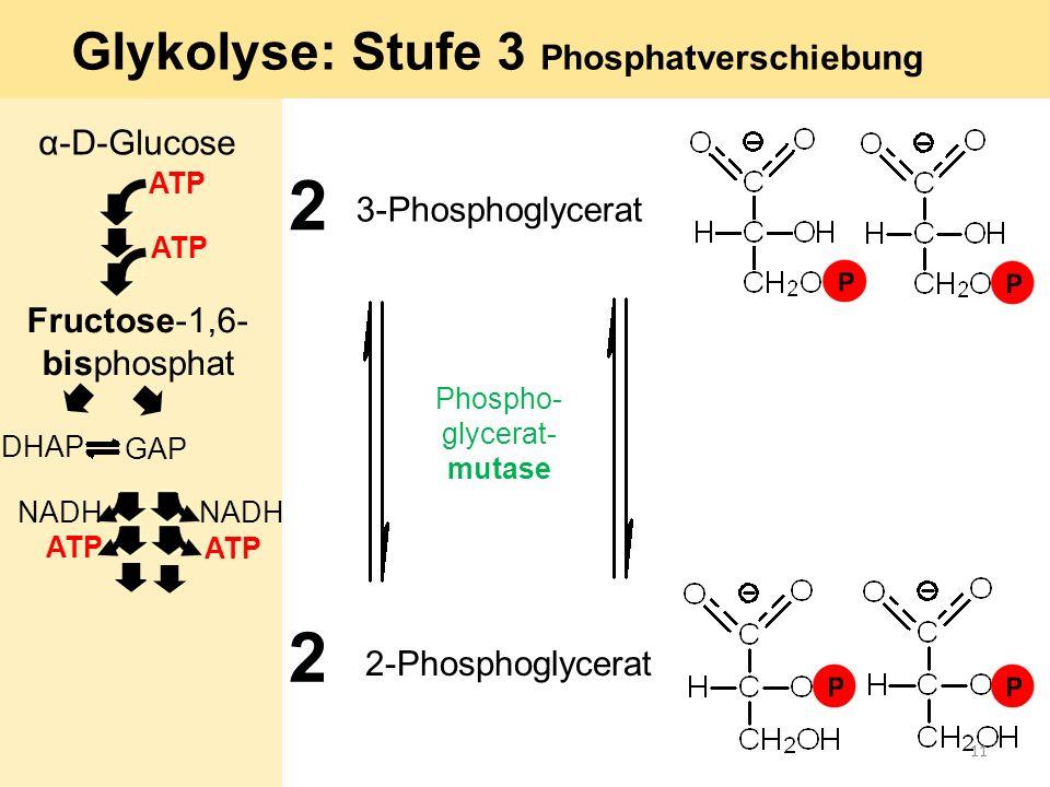 2 2 Phospho- glycerat- mutase 2-Phosphoglycerat 3-Phosphoglycerat Glykolyse: Stufe 3 Phosphatverschiebung α-D-Glucose ATP GAP DHAP ATP Fructose-1,6- b