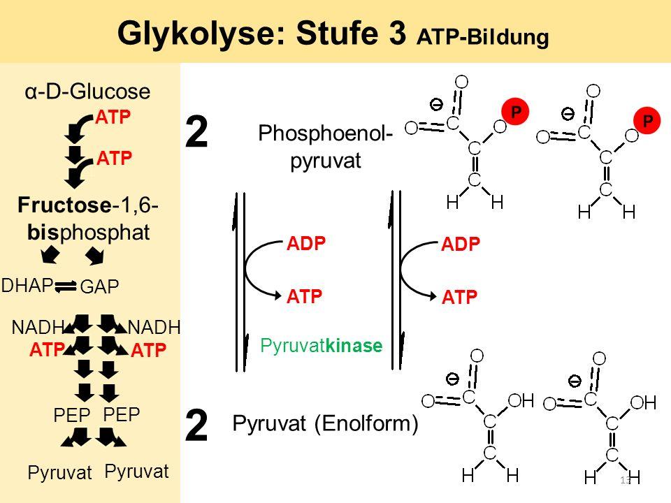 2 2 Pyruvatkinase Pyruvat (Enolform) Phosphoenol- pyruvat Glykolyse: Stufe 3 ATP-Bildung ADP ATP α-D-Glucose ATP GAP DHAP ATP Fructose-1,6- bisphospha
