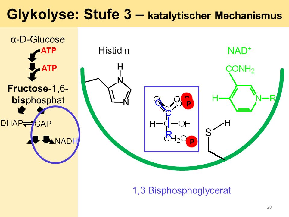 R Histidin NAD + Glykolyse: Stufe 3 – katalytischer Mechanismus H 1,3 Bisphosphoglycerat α-D-Glucose ATP GAP DHAP ATP Fructose-1,6- bisphosphat NADH 2
