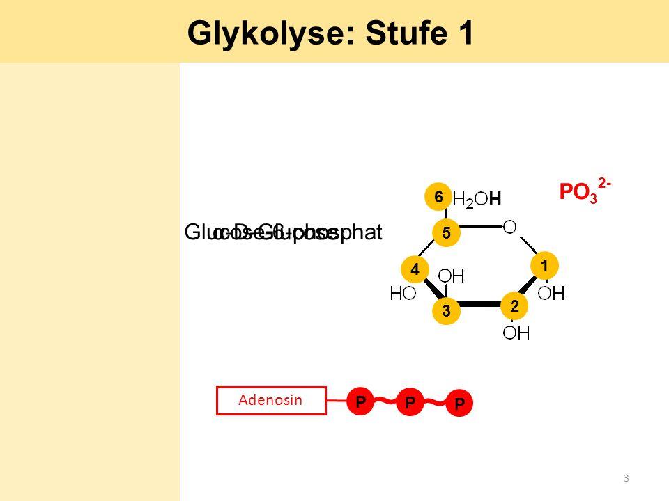 α-D-Glucose P Adenosin P P ~ ~ H PO 3 2- 1 2 3 4 5 6 Glucose-6-phosphat Glykolyse: Stufe 1 3