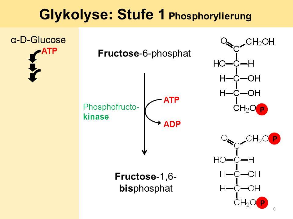 Fructose-6-phosphat Fructose-1,6- bisphosphat Phosphofructo- kinase ATP Glykolyse: Stufe 1 Phosphorylierung ADP α-D-Glucose ATP 6
