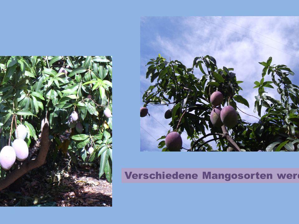 Verschiedene Mangosorten werden hier gezüchtet