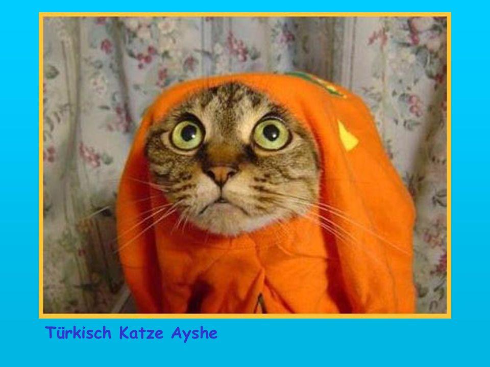 Türkisch Katze Ayshe
