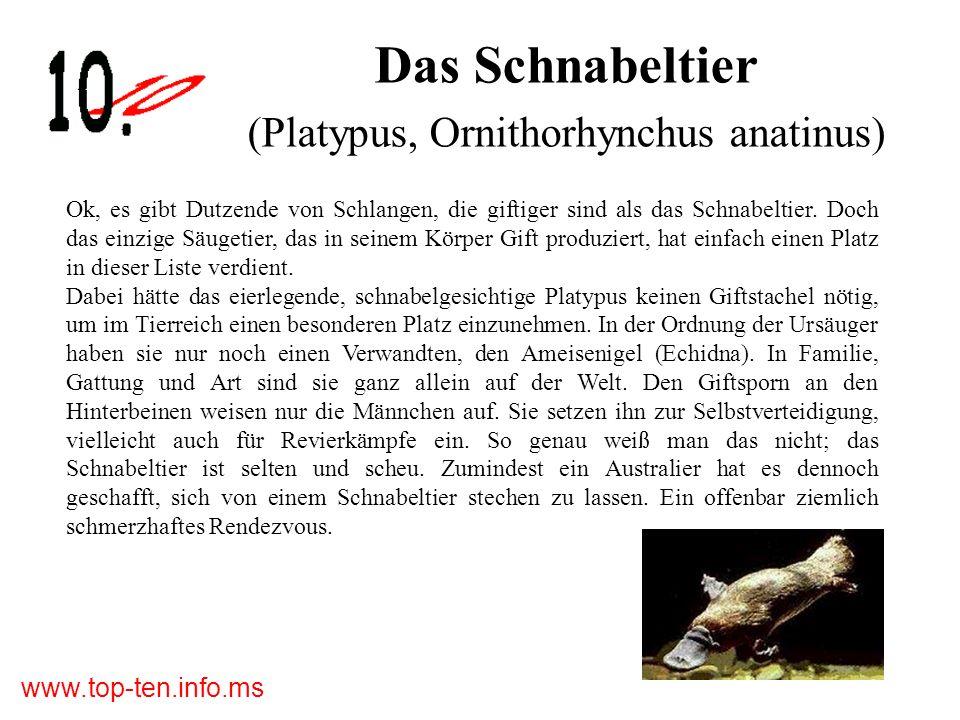 Das Schnabeltier (Platypus, Ornithorhynchus anatinus) Ok, es gibt Dutzende von Schlangen, die giftiger sind als das Schnabeltier.