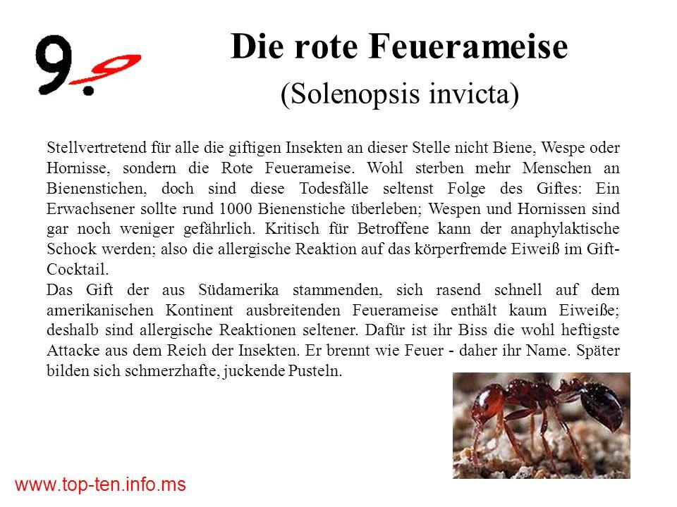 www.top-ten.info.ms Die rote Feuerameise (Solenopsis invicta) Stellvertretend für alle die giftigen Insekten an dieser Stelle nicht Biene, Wespe oder Hornisse, sondern die Rote Feuerameise.