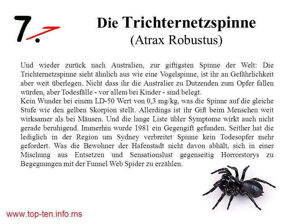 www.top-ten.info.ms Die Trichternetzspinne (Atrax Robustus) Und wieder zurück nach Australien, zur giftigsten Spinne der Welt: Die Trichternetzspinne sieht ähnlich aus wie eine Vogelspinne, ist ihr an Gefährlichkeit aber weit überlegen.