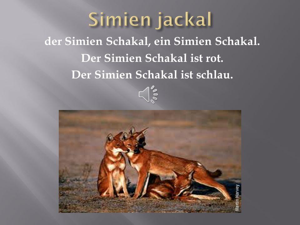 der Walia Ibex, ein Walia Ibex Der Walia Ibex hat große Hörner. Ein Walia Ibex lebt in den Bergen.