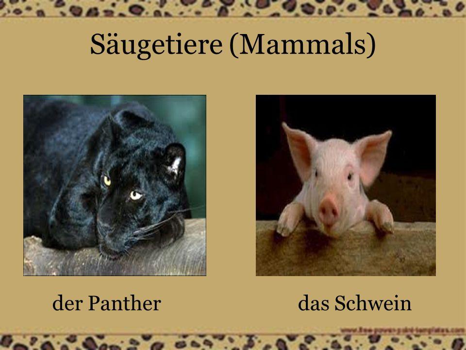 Säugetiere (Mammals) der Pantherdas Schwein