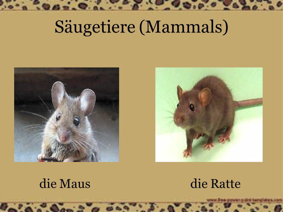 Säugetiere (Mammals) die Mausdie Ratte