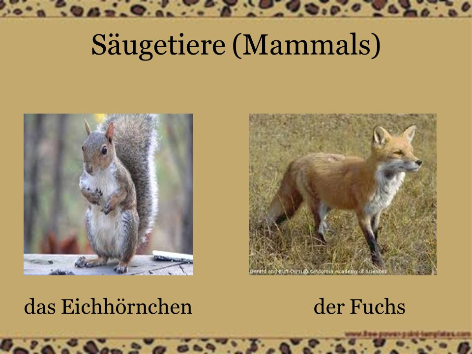 Säugetiere (Mammals) das Eichhörnchender Fuchs