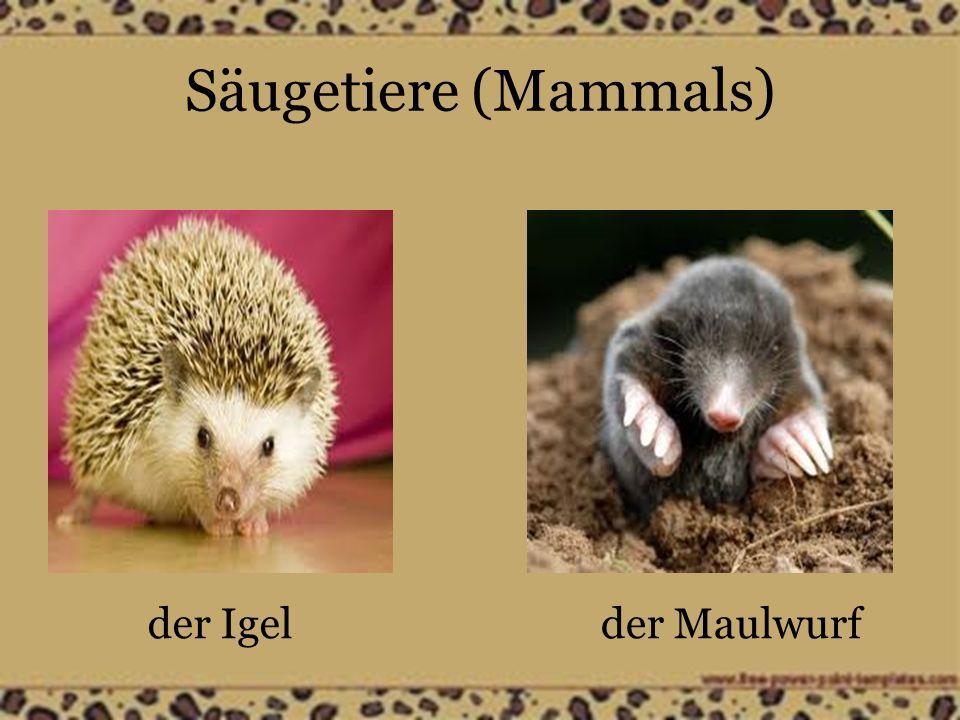 Säugetiere (Mammals) das Kameldie Kuh