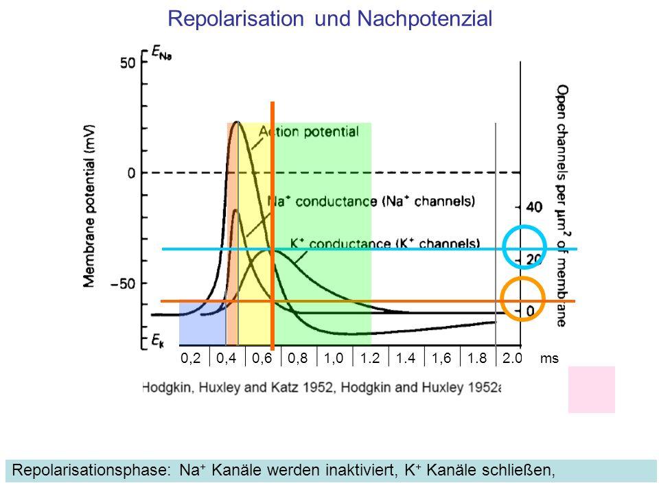 Repolarisation und Nachpotenzial Repolarisationsphase: Na + Kanäle werden inaktiviert, K + Kanäle schließen, 0,20,40,60,81,01.21.41,61.82.0ms