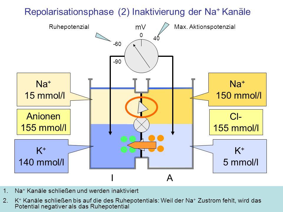 Repolarisationsphase (2) Inaktivierung der Na + Kanäle 1.Na + Kanäle schließen und werden inaktiviert 2.K + Kanäle schließen bis auf die des Ruhepoten