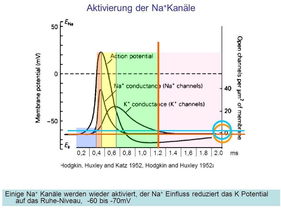 Aktivierung der Na + Kanäle Einige Na + Kanäle werden wieder aktiviert, der Na + Einfluss reduziert das K Potential auf das Ruhe-Niveau, -60 bis -70mV