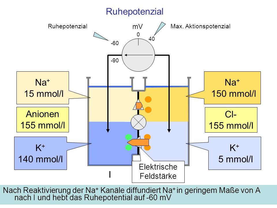 Ruhepotenzial Nach Reaktivierung der Na + Kanäle diffundiert Na + in geringem Maße von A nach I und hebt das Ruhepotential auf -60 mV mV -60 K + 5 mmo