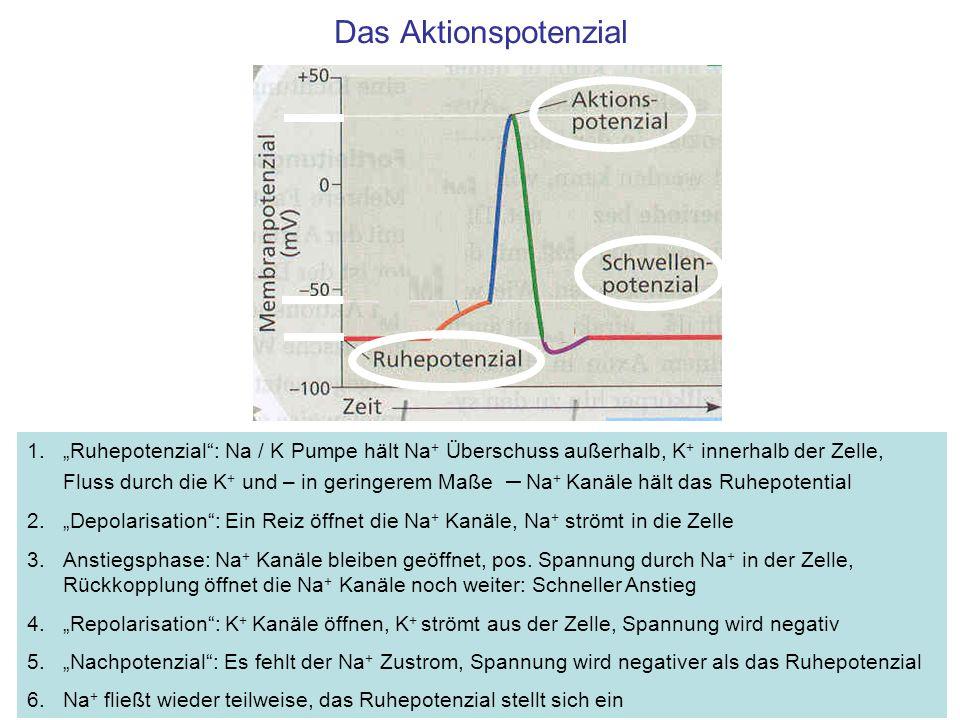 Das Aktionspotenzial 1.Ruhepotenzial: Na / K Pumpe hält Na + Überschuss außerhalb, K + innerhalb der Zelle, Fluss durch die K + und – in geringerem Maße – Na + Kanäle hält das Ruhepotential 2.Depolarisation: Ein Reiz öffnet die Na + Kanäle, Na + strömt in die Zelle 3.Anstiegsphase: Na + Kanäle bleiben geöffnet, pos.