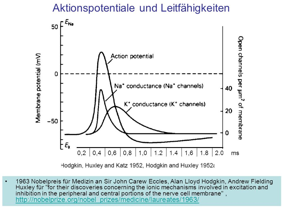 Ruhepotenzial 1.Spezielle K + Kanäle sind geöffnet, sie allein würden das Potential auf -90 mV einstellen.