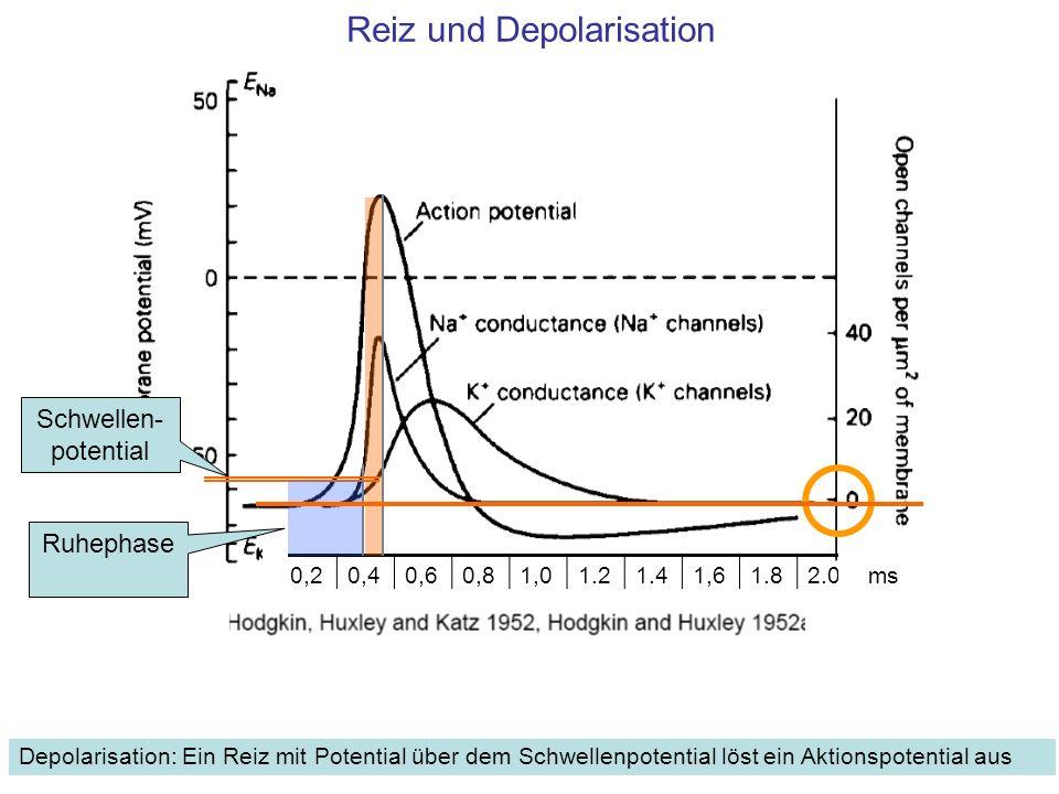 Reiz und Depolarisationsphase, Anstieg zum Aktionspotential 1.Ein Reiz öffnet einige Na + Kanäle, die Depolarisation beginnt.