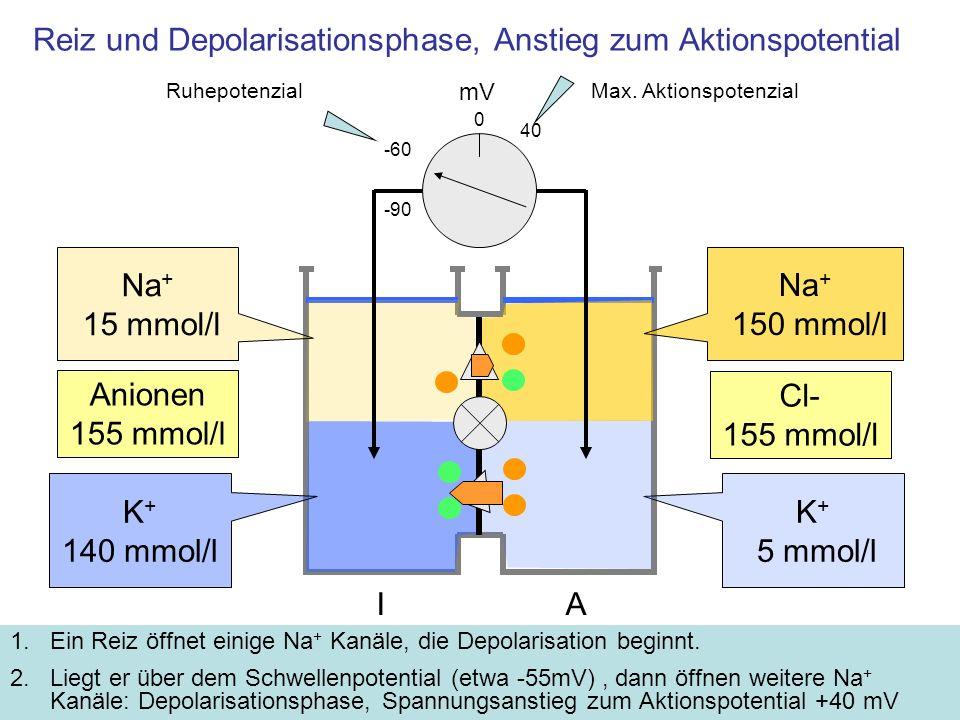 Reiz und Depolarisationsphase, Anstieg zum Aktionspotential 1.Ein Reiz öffnet einige Na + Kanäle, die Depolarisation beginnt. 2.Liegt er über dem Schw