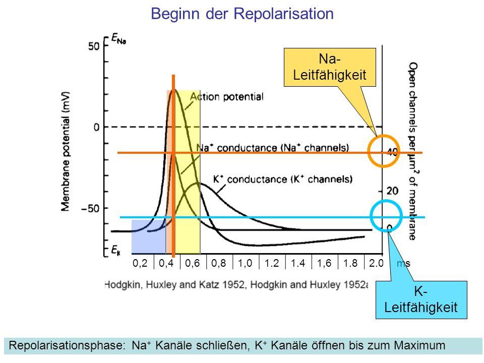 Beginn der Repolarisation Repolarisationsphase: Na + Kanäle schließen, K + Kanäle öffnen bis zum Maximum 0,20,40,60,81,01.21.41,61.82.0ms Na- Leitfähi