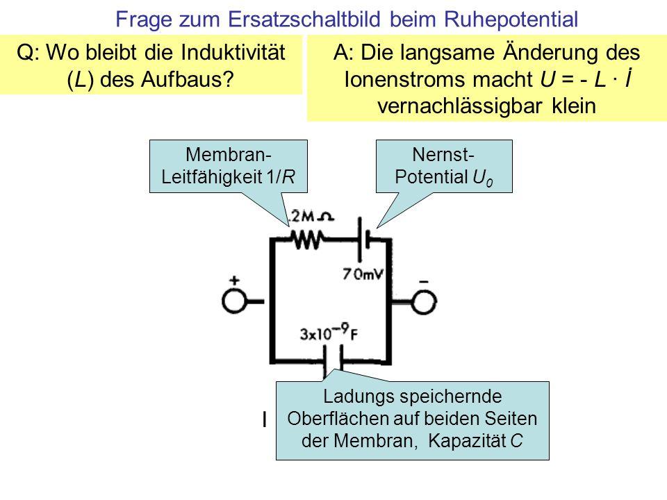 Frage zum Ersatzschaltbild beim Ruhepotential IA Nernst- Potential U 0 Membran- Leitfähigkeit 1/R Ladungs speichernde Oberflächen auf beiden Seiten der Membran, Kapazität C Q: Wo bleibt die Induktivität (L) des Aufbaus.