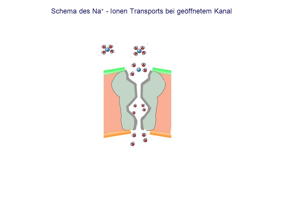 Schema des Na + - Ionen Transports bei geöffnetem Kanal