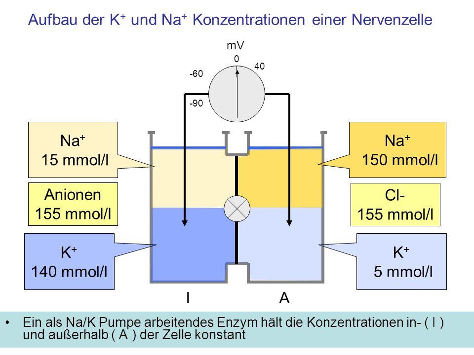 Aufbau der K + und Na + Konzentrationen einer Nervenzelle Ein als Na/K Pumpe arbeitendes Enzym hält die Konzentrationen in- ( I ) und außerhalb ( A ) der Zelle konstant mV -60 K + 5 mmol/l 40 0 IA K + 140 mmol/l -90 Na + 150 mmol/l Na + 15 mmol/l Cl- 155 mmol/l Anionen 155 mmol/l