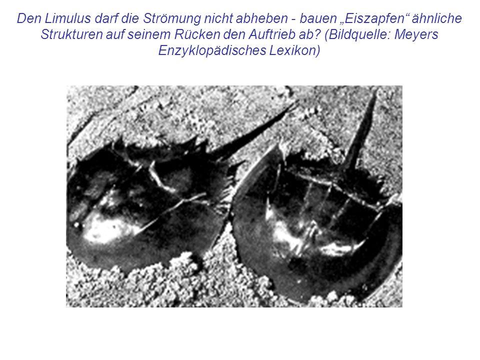 Den Limulus darf die Strömung nicht abheben - bauen Eiszapfen ähnliche Strukturen auf seinem Rücken den Auftrieb ab.