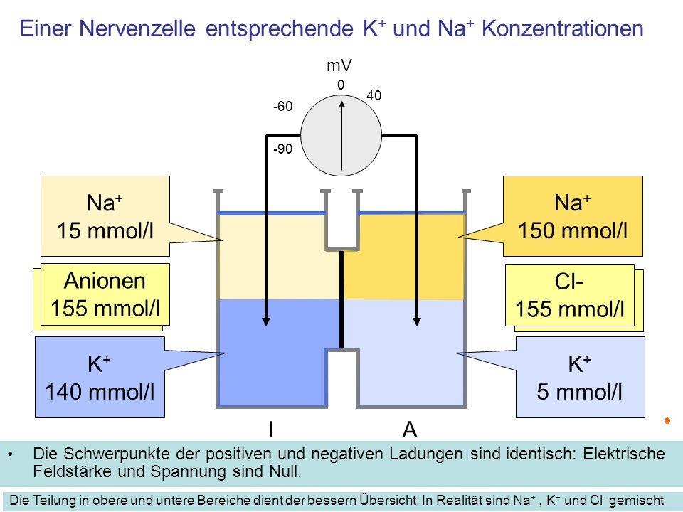 Einer Nervenzelle entsprechende K + und Na + Konzentrationen Die Schwerpunkte der positiven und negativen Ladungen sind identisch: Elektrische Feldstä