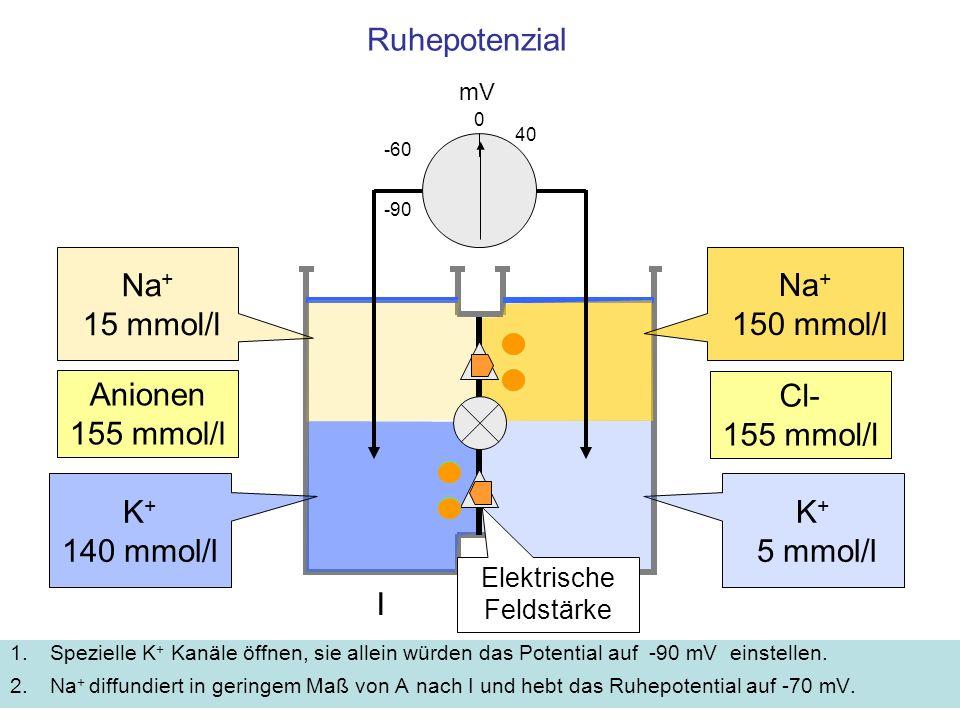 Ruhepotenzial 1.Spezielle K + Kanäle öffnen, sie allein würden das Potential auf -90 mV einstellen. 2.Na + diffundiert in geringem Maß von A nach I un