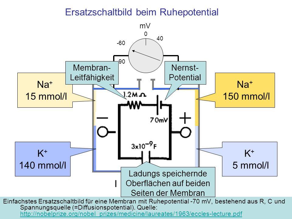 Ersatzschaltbild beim Ruhepotential Einfachstes Ersatzschaltbild für eine Membran mit Ruhepotential -70 mV, bestehend aus R, C und Spannungsquelle (=D