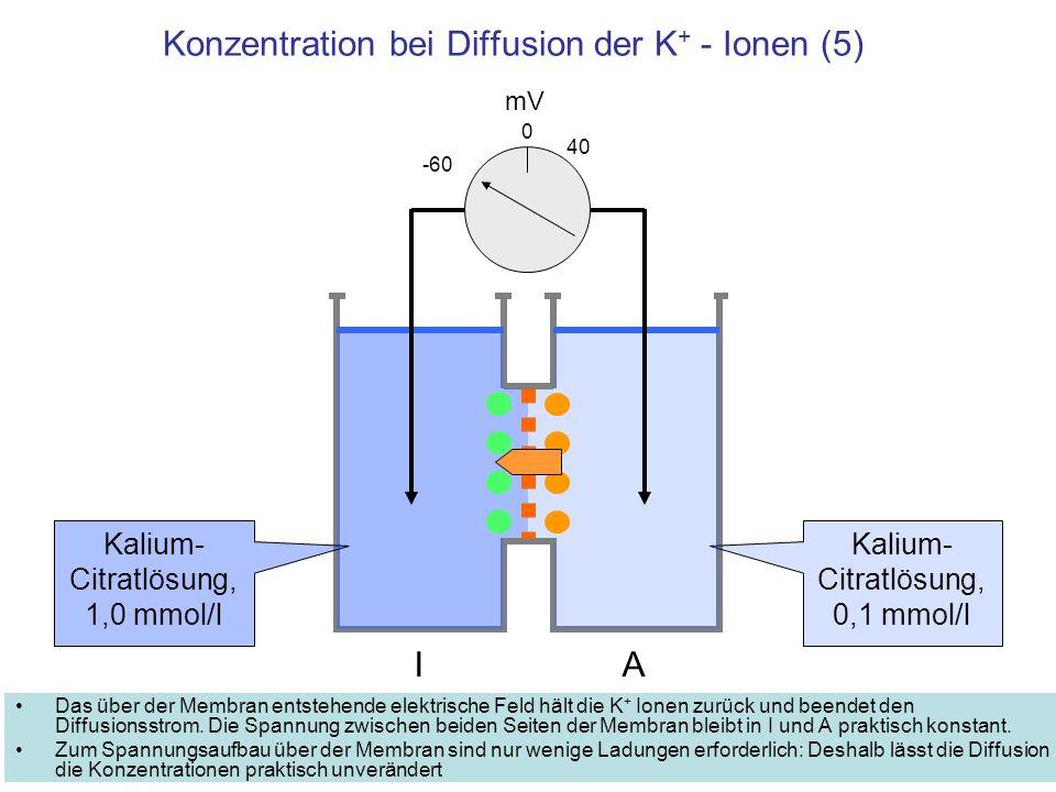 Konzentration bei Diffusion der K + - Ionen (5) Das über der Membran entstehende elektrische Feld hält die K + Ionen zurück und beendet den Diffusions