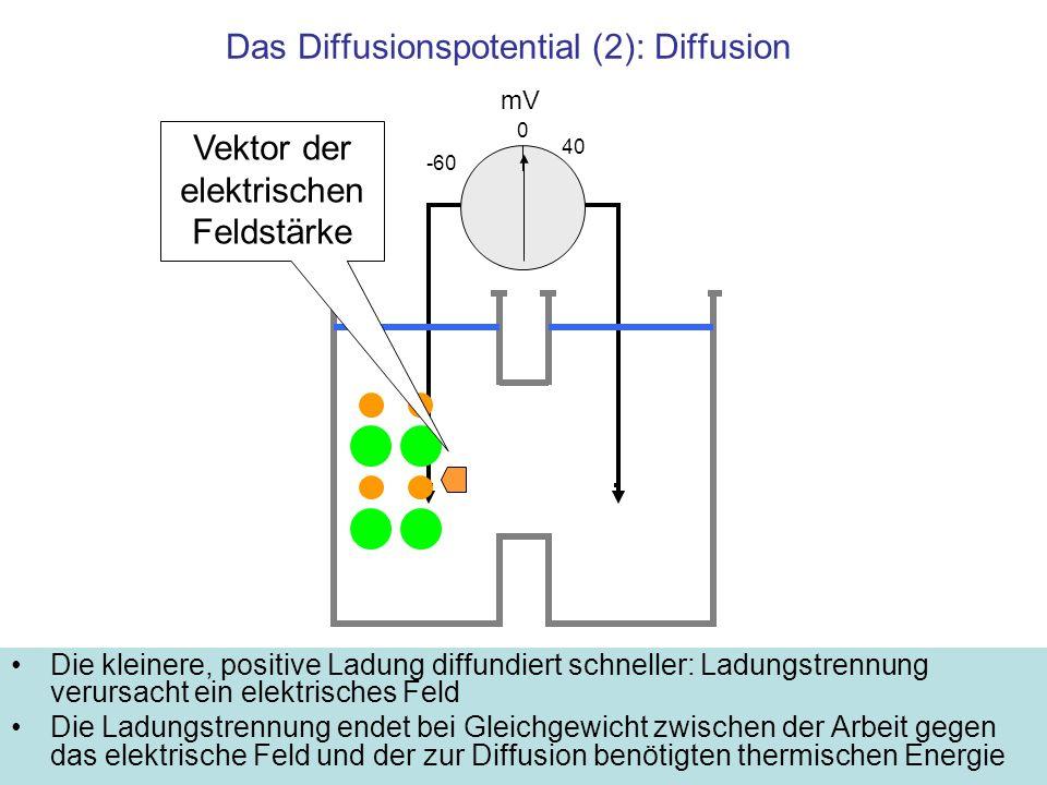 Das Diffusionspotential (2): Diffusion Die kleinere, positive Ladung diffundiert schneller: Ladungstrennung verursacht ein elektrisches Feld Die Ladun