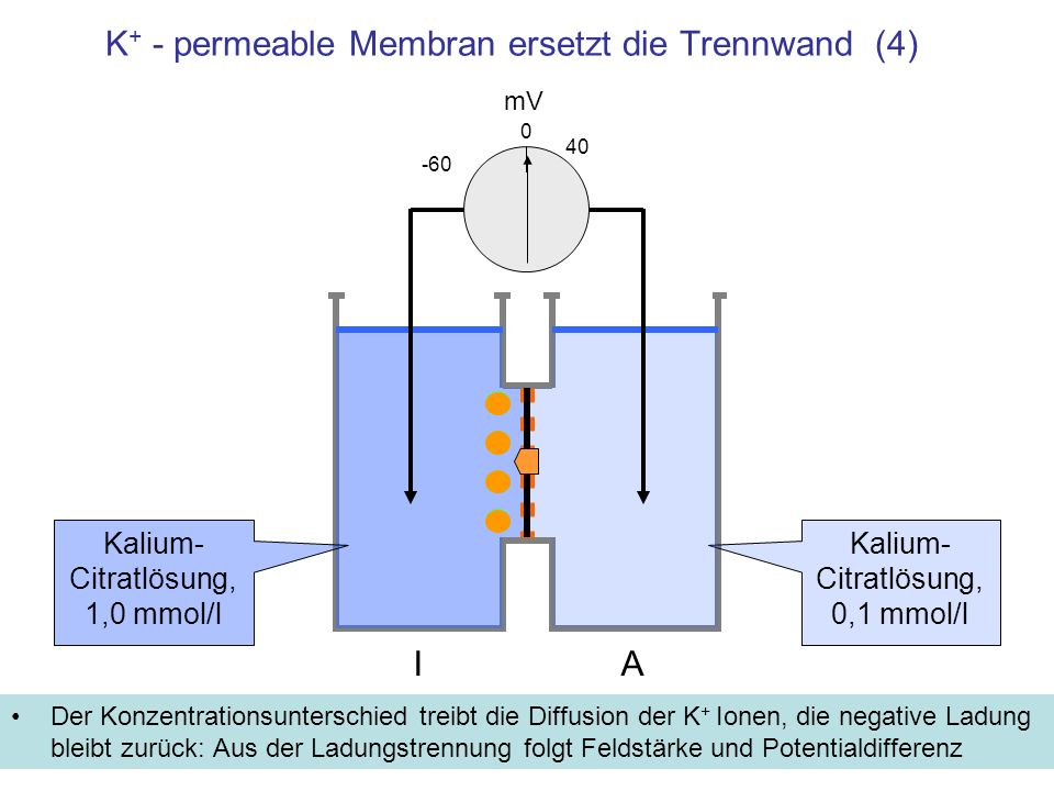 K + - permeable Membran ersetzt die Trennwand (4) Der Konzentrationsunterschied treibt die Diffusion der K + Ionen, die negative Ladung bleibt zurück: