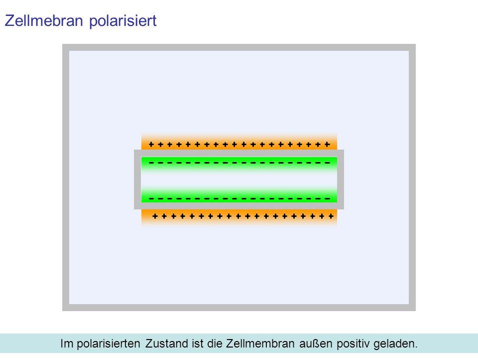 Zellmebran polarisiert Im polarisierten Zustand ist die Zellmembran außen positiv geladen.