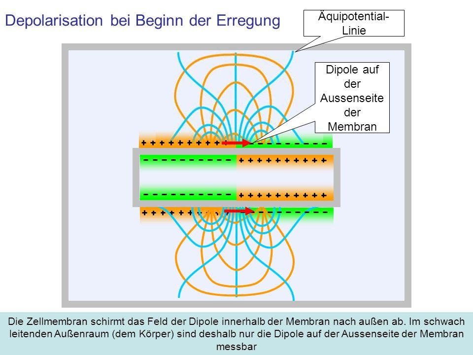 Depolarisation bei Beginn der Erregung Die Zellmembran schirmt das Feld der Dipole innerhalb der Membran nach außen ab. Im schwach leitenden Außenraum