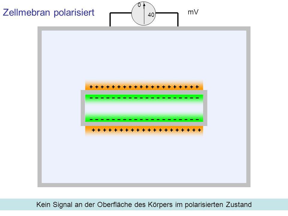 Zellmebran polarisiert Kein Signal an der Oberfläche des Körpers im polarisierten Zustand mV 0 40