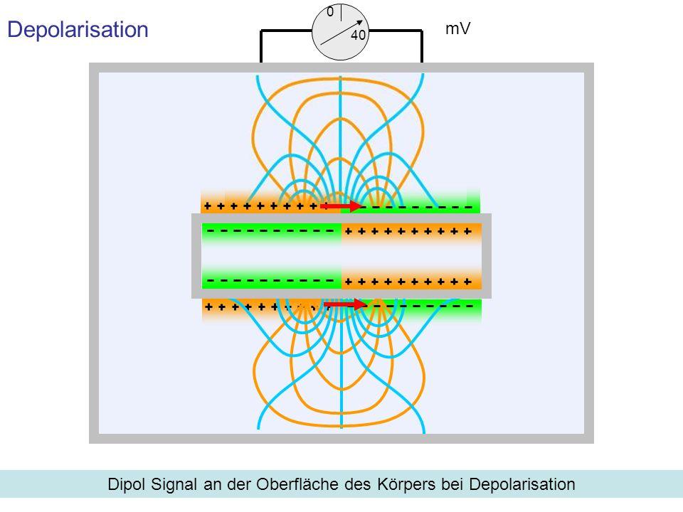 Depolarisation Dipol Signal an der Oberfläche des Körpers bei Depolarisation mV 0 40