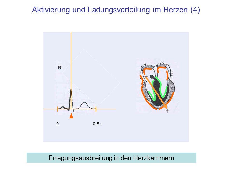 Aktivierung und Ladungsverteilung im Herzen (4) Erregungsausbreitung in den Herzkammern 00,8 s