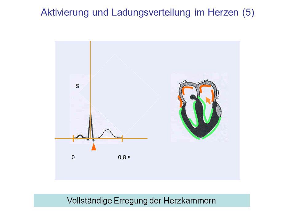 Aktivierung und Ladungsverteilung im Herzen (5) Vollständige Erregung der Herzkammern 00,8 s