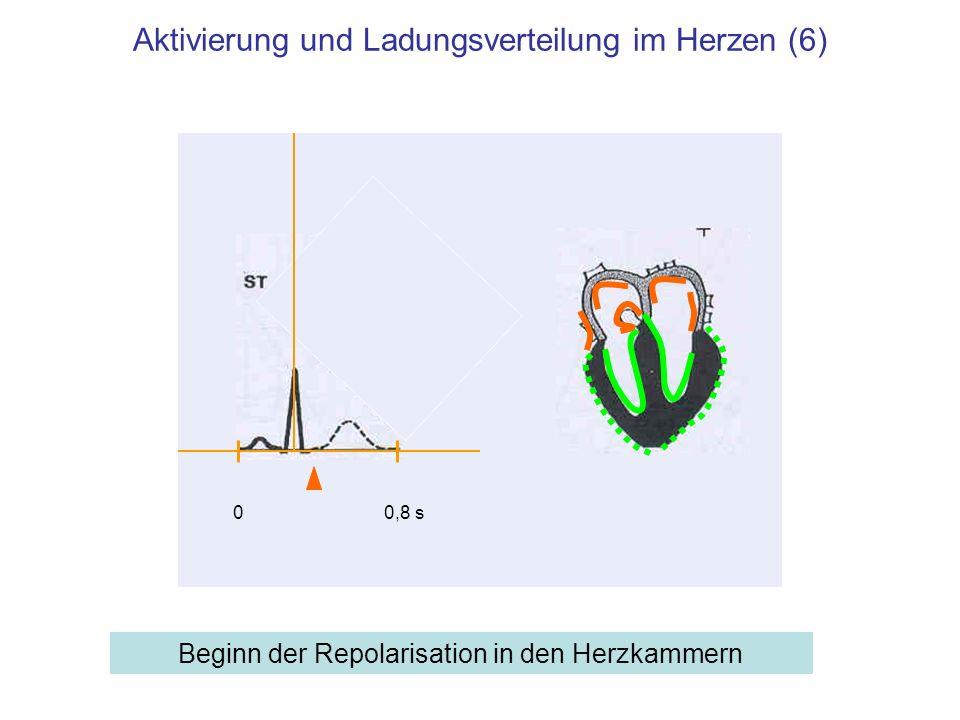 Aktivierung und Ladungsverteilung im Herzen (6) Beginn der Repolarisation in den Herzkammern 00,8 s
