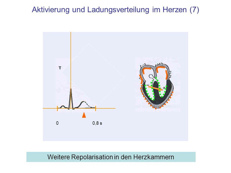 Aktivierung und Ladungsverteilung im Herzen (7) Weitere Repolarisation in den Herzkammern 00,8 s
