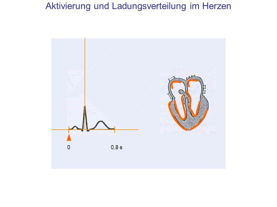 Aktivierung und Ladungsverteilung im Herzen (1) Beginn der Erregungswelle in den Herzvorhöfen 00,8 s