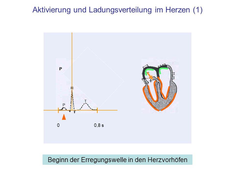 Aktivierung und Ladungsverteilung im Herzen (2) Zwischen Vorhoferregung und Kammererregung 00,8 s